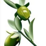 Se extingue la planta de jojoba