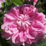 El Valle de las Rosas en Bulgaria