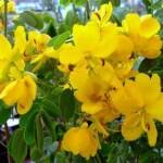 Aceite esencial Canela Cassia