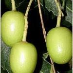 Aceite vegetal Neem
