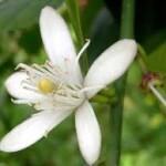 Aceite esencial Benjui