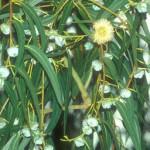 Aceite esencial Eucalipto citriodora