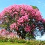 Aceite esencial Palo de rosa