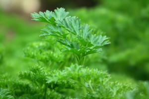 10-hierbas-aromaticas-para-cocincar-perejil-wikicocina