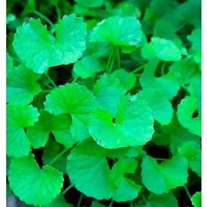 Aceite vegetal Centella asiática